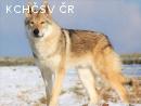 Kouzlo vlků vrh B